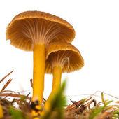 Yellowfoot mushroom — Stock Photo