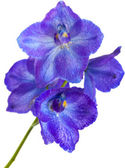 Delphinium — Stock Photo