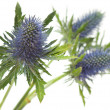 Eryngium — Stock Photo