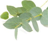 Eucalyptus isolated — Stock Photo