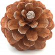 Aleppo pine cone — Stock Photo