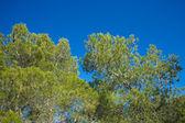 Aleppo pines — Stock Photo