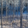 Aspens in hoarfrost — Stock Photo