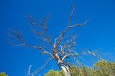 Dead pine — Stock Photo