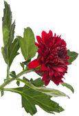 Dark red chrysanthemum — Stock Photo