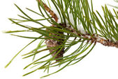 Pine brach isolated on white — Stock Photo