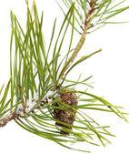 Pine brach isolated on white — Stock Photo