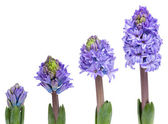 Opening blue hyacinth — Stock Photo