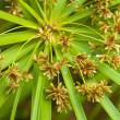 Stock Photo: Sedge