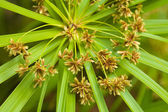 Sedge — Stock Photo