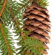 Photo: Spruce tree branch with cone isolated on white