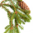 Spruce tree branch with cone isolated on white — Stockfoto