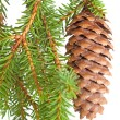 Stock Photo: Spruce tree branch with cone isolated on white