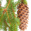Spruce tree branch with cone isolated on white — ストック写真
