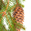 Spruce tree branch with cone isolated on white — Stockfoto #38509719
