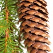 Spruce tree branch with cone isolated on white — Stockfoto #38509729