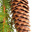 Spruce tree branch with cone isolated on white — Stok fotoğraf #38509729