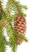 Spruce tree branch with cone isolated on white — Stok fotoğraf