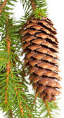 Spruce tree branch with cone isolated on white — Stock Photo