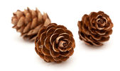 Larch tree cones — Stock Photo