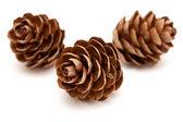 Larch tree cones — Stock Photo