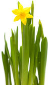 Yellow mini-narcissi — Stock Photo