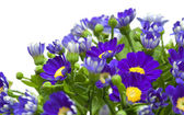 Florists Cineraria — Stock Photo