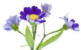Florists Cineraria — Stock Photo