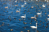 Natural background with aquatic birds — Stock Photo