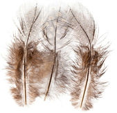 Guinea fowl feather — Stock Photo