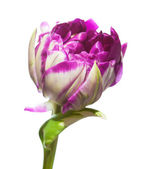 Variegated tulip flower — Stock Photo
