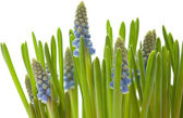 Growing muscari isolated on white — Stock Photo
