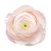 Pale pink ranunculus, persian buttercup — Stock Photo