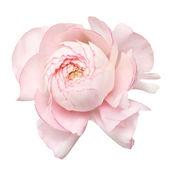 Pale pink ranunculus — Stockfoto