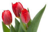 Dark red tulip — Stock Photo