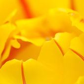 Tulipán amarillo — Foto de Stock