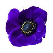 Dark blue anemone — Stock Photo