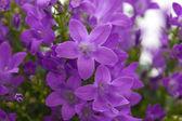 цветущие стены колокольчик — Стоковое фото