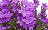 Flowering wall bellflower — Stock Photo