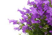 Flowering wall bellflower — Stockfoto