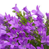 Flowering wall bellflower — Stock Photo