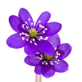 Anemone hepatica — Stock Photo