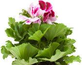 Pelargonium — Stock Photo