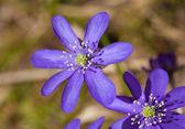 Anemone hepatica — Stock Photo