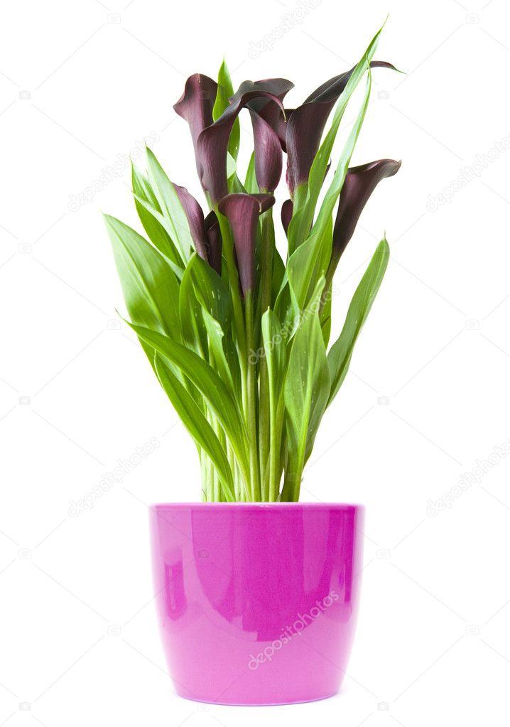 zantedeschia noir violet fonc 233 plante en pot violet brillant isola photographie tamara k