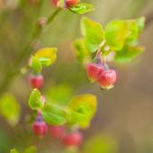 Bilberry flowers — Stock Photo