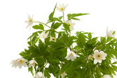 Anemone nemorosa — Stock Photo