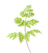 Wild parsley leaf — Stock Photo