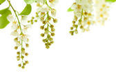 Bird cherry — Stock Photo