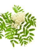 Rowan flowers — Stock Photo
